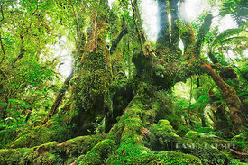 Mosscovered tree in rainforest - Oceania, New Zealand, South Island, West Coast, Westland, Westland National Park, Fox Glacie...