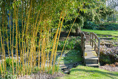 Clump of yellow stemmed bamboo beside bridge over stream. Melplash Court, Bridport, Dorset, UK