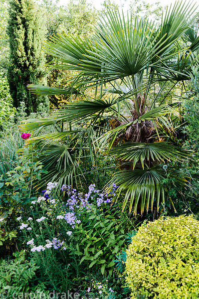 Trachycarpus fortunei, Chusan palm, in a mixed border with campanula, achillea and a clipped golden shrub.