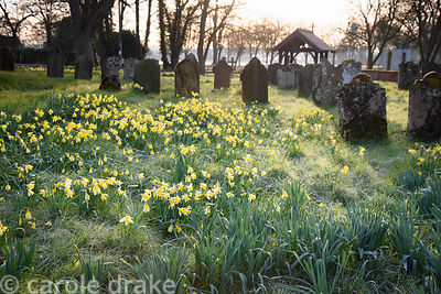 Naturalised daffodils in the churchyard of St Peter's Church at Doddington Hall, Lincolnshire in March