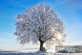 Lime tree snow covered (lat. tilia) - Europe, Germany, Bavaria, Upper Bavaria, Miesbach, Irschenberg - digital - Getty image ...