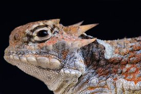 Phrynosoma platyrhinos, Desert horned lizard, Arizona, USA