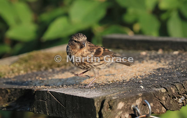Common (Lesser) Redpoll juvenile (Carduelis flammea) on a bird table, Lake District National Park, Cumbria, England