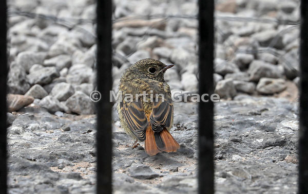 Young Common Redstart (Phoenicurus phoenicurus) photographed through the garden gate - not in jail! Lake District National Pa...