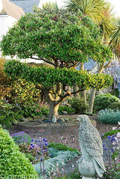 Stone eagle surrounded by clipped box, aquilegias and aubretia with shaped cotoneaster tree beyond. 24 Bude Street, Appledore...