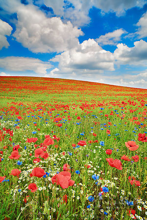 Corn poppy and cornflowers on rape field (lat. papaver rhoeas) - Europe, Germany, Mecklenburg-Vorpommern, Mecklenburg Lake Di...