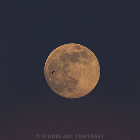 colombes_pigeon_fullmoon_