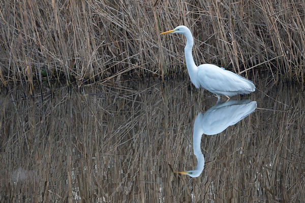 Great white egret reflection
