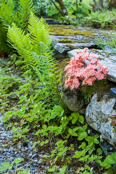 Salmon pink lewisia growing between stones.