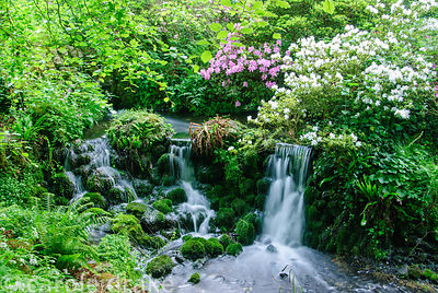 18th century cascade in the valley bottom surrounded by azaleas, rhododendrons and ferns. Minterne, Minterne Magna, Dorcheste...