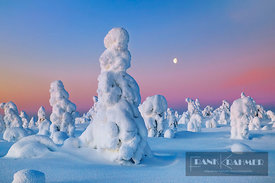 fell with snow covered spruces in winter - Europe, Finland, Eastern Lapland, Posio, Riisitunturi (Lapland, Riisitunturi Natio...