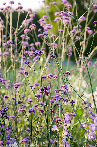 Verbena bonariensis. Castle Hill, Barnstaple, Devon, UK