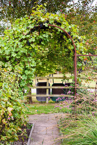 Vine covered metal archway in a garden in rural Nottinghamshire in September