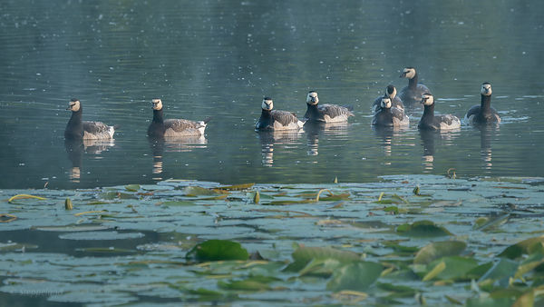 Frontal view on group of barnacle geese on the lake