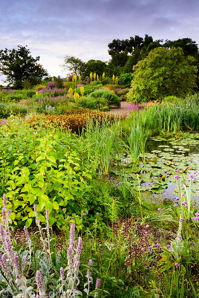Naturalistic pond surrounded by lush planting including bulrushes, Verbena bonariensis, Lysimachia ciliata 'Firecracker', cor...