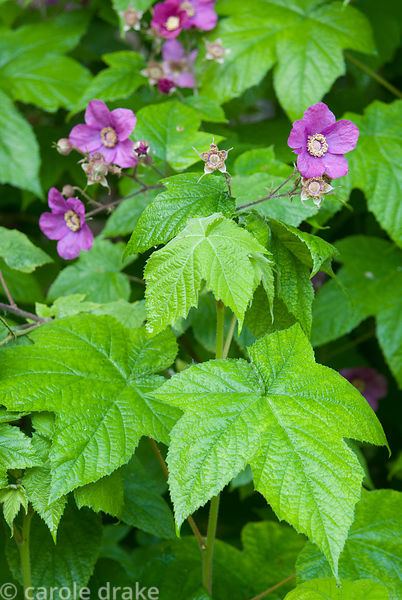 Rubus odoratus, wild raspberry. Melplash Court, Bridport, Dorset, UK