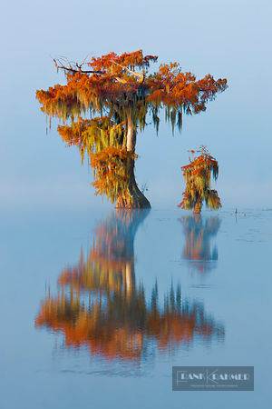 Bald cypress in fog (lat. taxodium distichum) - North America, USA, Louisiana, St. Martin, Lake Martin - digital - Getty imag...