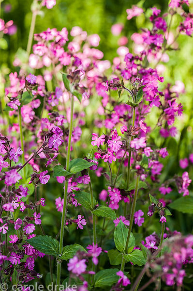 Red campion, Silene dioica, in the dell.