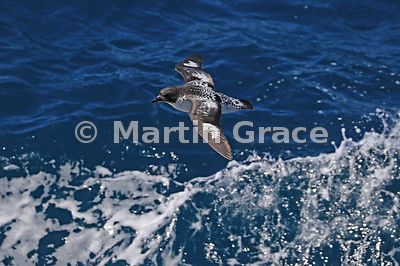 Cape Petrel (Daption capense) in flight, South Shetland Islands, Southern Ocean, Antarctica