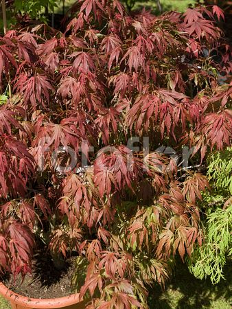 Acer palmatum 'Oregon Sunset', érable du Japon