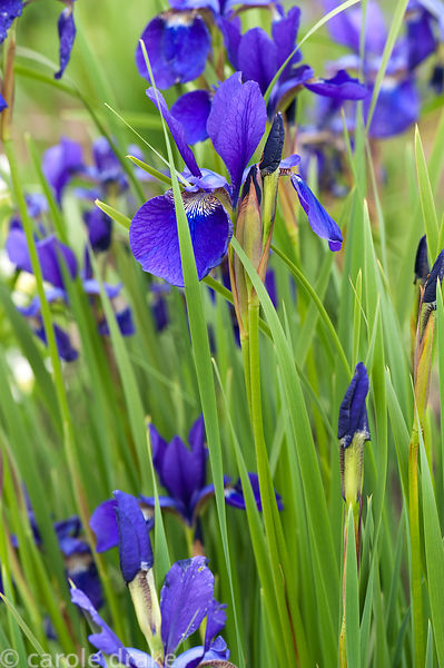 Iris sibirica 'Caesar's Brother'. Aulden Farm, Leominster, Herefordshire, UK