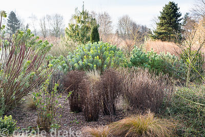 Border of grasses and evergreens including conifers and euphorbias at Ellicar Gardens, Notts in winter