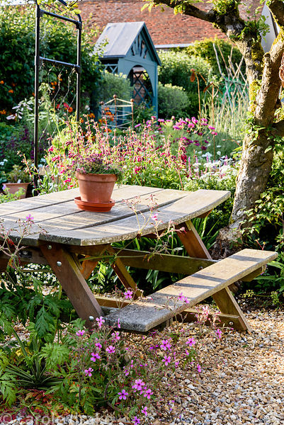 Picnic bench surrounded by self seeded Geranium palmatum and herbaceous perennials including penstemon around an old apple tr...