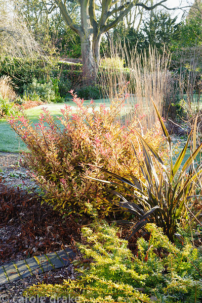 Border in the front garden with evergreen Pseudowintera colorata 'Marjorie Congreve', phormium and prostrate yew. Windy Ridge...