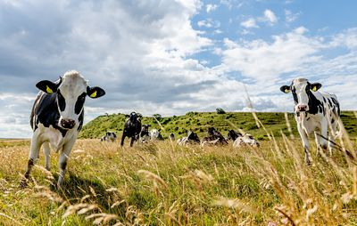 Mors landscape with cows, Denmark 4