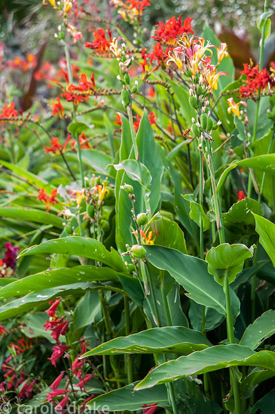 Canna indica in the hot border. Coleton Fishacre, Kingswear, Devon, UK