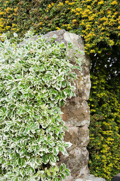 Evergreen arrangement of clipped euonymus against a stone wall with yew behind. Herterton House, Hartington, Northumberland, UK