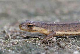 Closeup of a subadult smooth newt, Lissotriton vulgare , in the garden