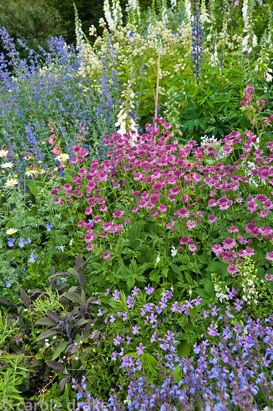 Border planted wtih white foxgloves, roses, pink Astrantia maxima, nepeta and purple sage. Mindrum, nr Cornhill on Tweed, Nor...