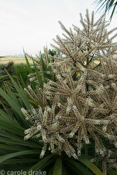 Honey scented inflorescence of cordyline. Ednovean Farm, Marazion, Cornwall, UK