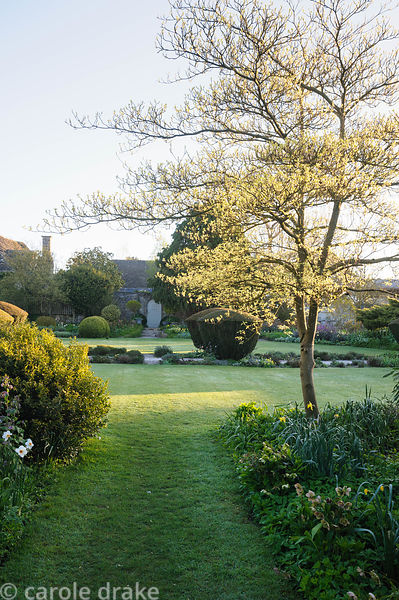 Cornus controversa 'Variegata' showing its fresh new leaves in dawn sunlight. Barnsley House, Cirencester, Glos, UK