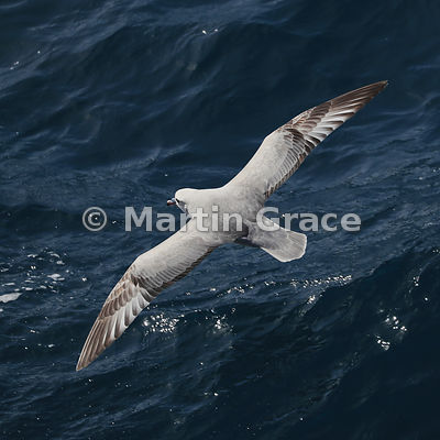 Southern (Antarctic) Fulmar (Fulmarus glacialoides) in flight, South Shetland Islands, Antarctica