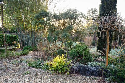 Shrub border in the front garden includes black Ophiopogon planiscapus 'Nigrescens' and cloud pruned Osmanthus delavayi. Wind...
