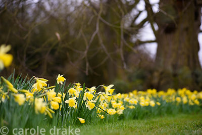 Narcissus 'Dove Wings'