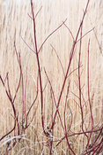 Deep red stems of Cornus alba 'Sibirica' against the bleached form of Calamagrostis x acutiflora 'Karl Foerster' at Ellicar G...