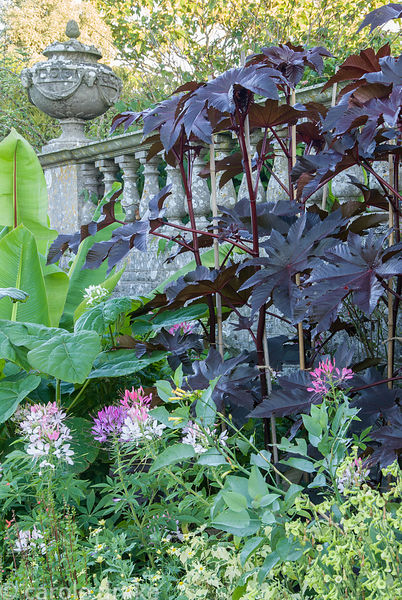 Lushly planted border on the lower terrace containing Ensete ventricosum, castor oil plants, paulownias, cleomes, lime green ...
