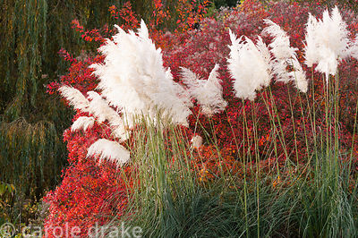 Feathery flower plumes of miscanthus in front of foliage turning red in autumn at Marks Hall