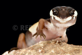 East Indian leopard gecko (Eublepharis hardwickii)