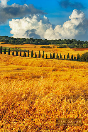 Cultural landscape with corn fields and cypresses - Europe, Italy, Tuscany, Siena, Val d'Orcia, Pienza, south of - digital - ...