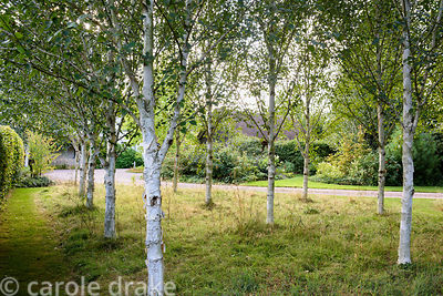 A grove of white stemmed birch trees beside the drive at Farlands, Tenbury Wells in August