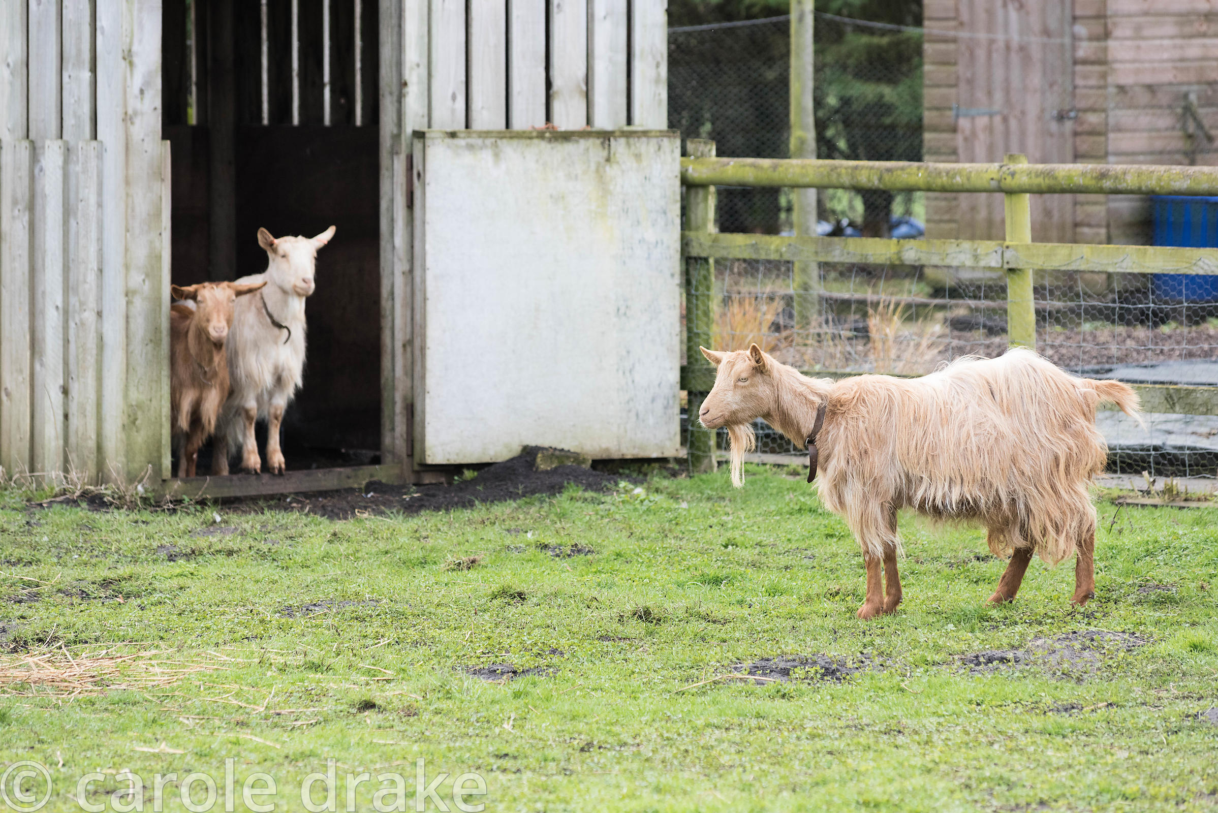 Golden Guernsey goats at Ellicar Gardens, Notts