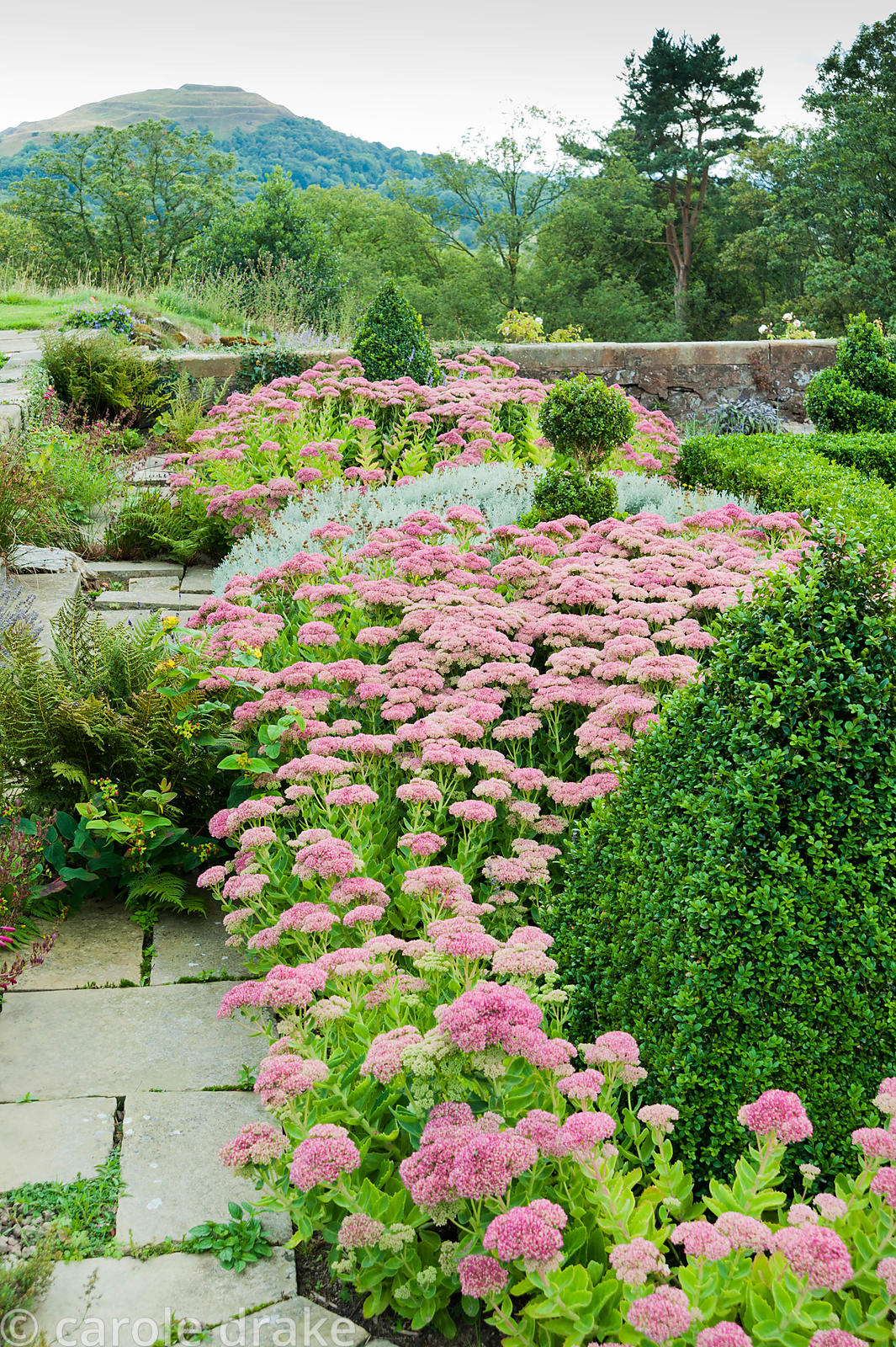 Terrace planted with box, Sedum 'Herbstfreude', santolina and Lavandula angustifolia 'Hidcote', with the British Camp or Here...