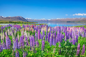 Lupine meadow at Lake Tekapo - Oceania, New Zealand, South Island, Canterbury, Mackenzie, Lake Tekapo, Lake Tekapo, Mt. John ...