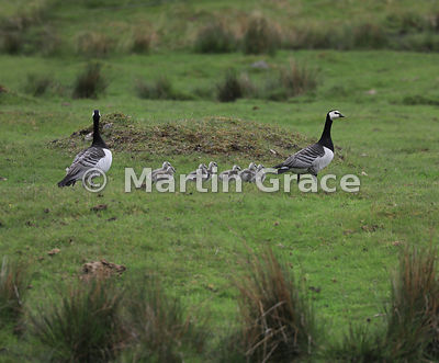 A pair of feral Barnacle Geese (Branta leucopsis) shepherd their seven goslings, Highland Wildlife Park, Kincraig, Inverness-...