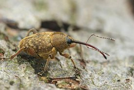 Close up of a the small nut weevil, Curculio nucum