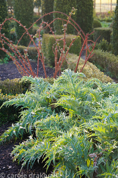 New foliage of globe artichokes in the potager at Barnsley House, Cirencester, Glos, UK